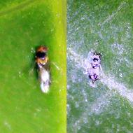 Image of Erythrina gall wasp