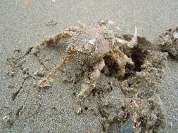 Image of Masked crab