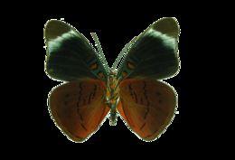 Image of <i>Panacea procilla</i> Hewitson 1853