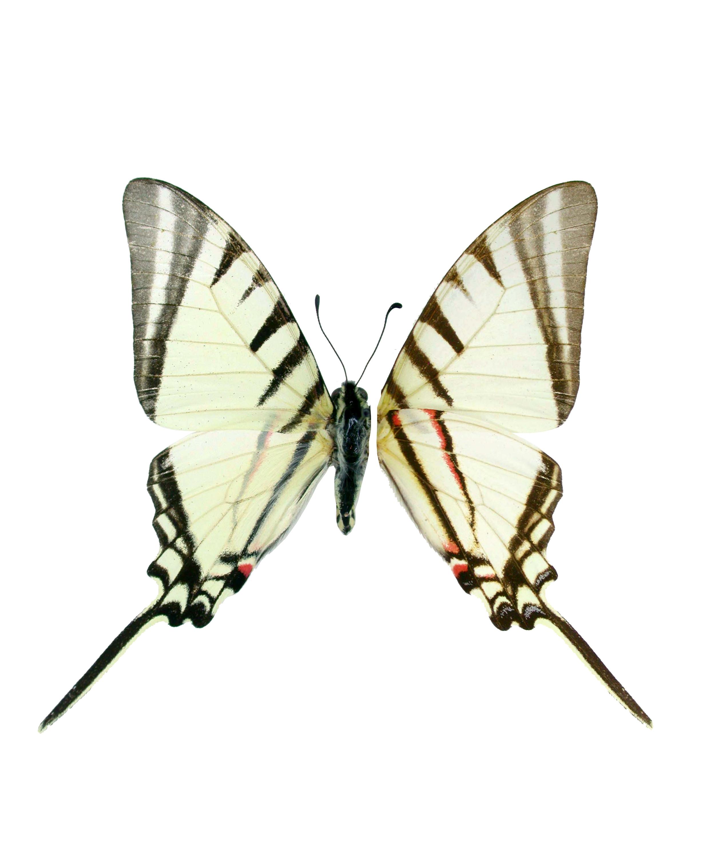 Image of <i>Protographium agesilaus</i> (Guérin & Percheron 1835)