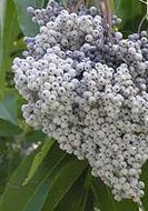 Image of <i>Sambucus cerulea</i> Raf.