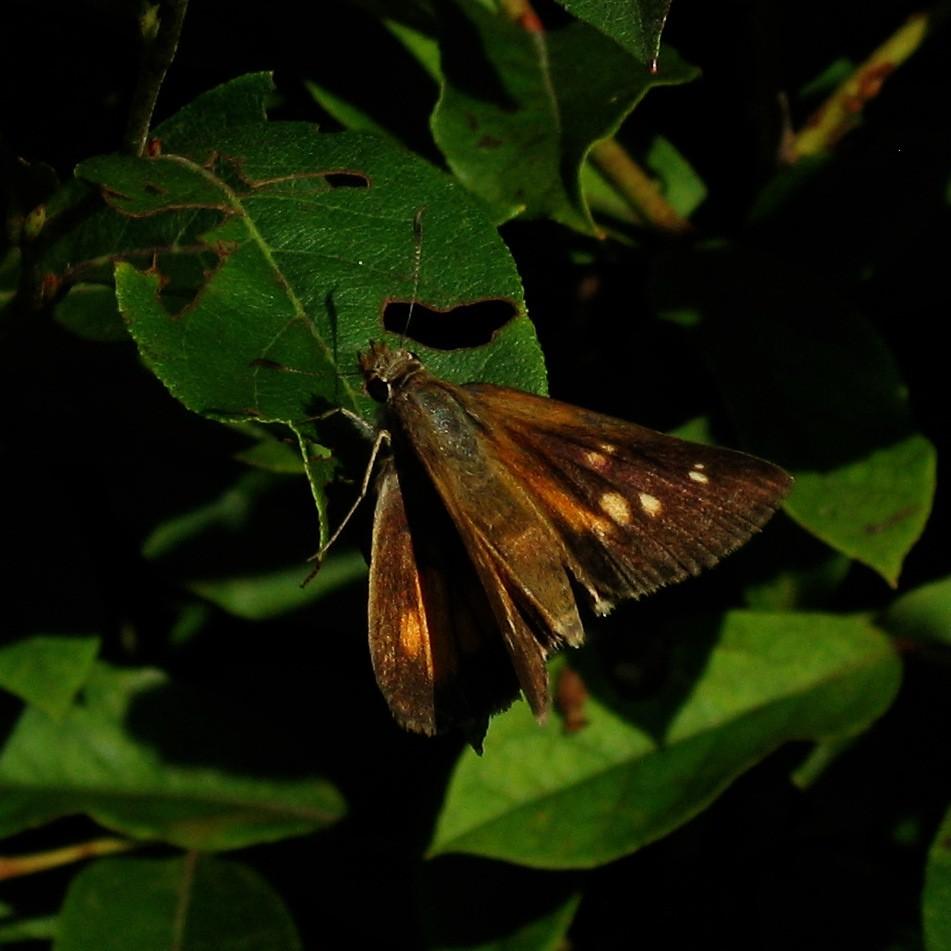 Image of Broad-winged Skipper