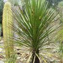 Image of <i>Yucca mixtecana</i> García-Mend.