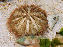 Image of green sea urchin