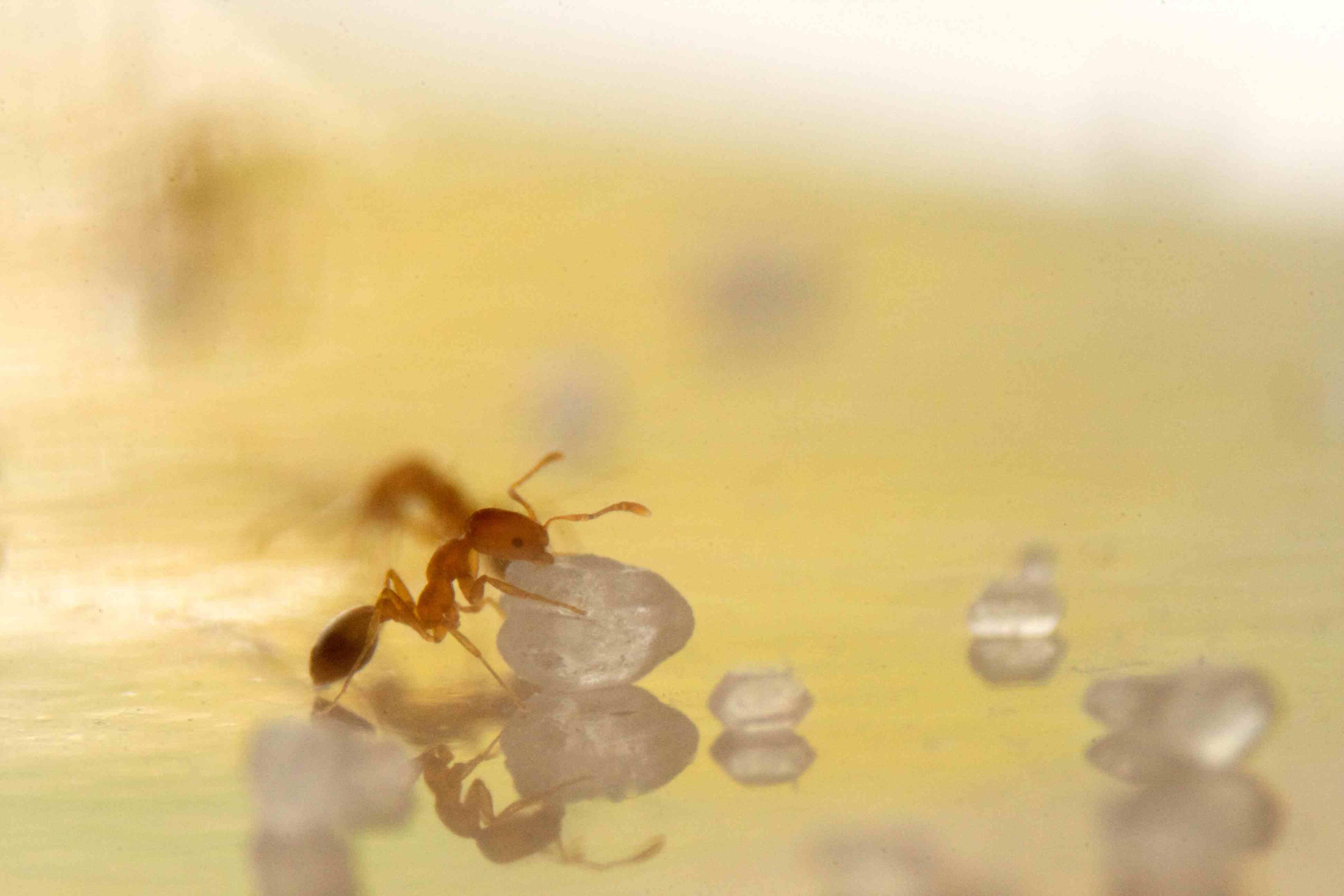 Image of Pharaoh ant