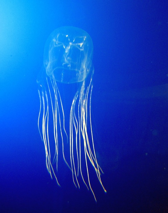 Image of box jellyfish