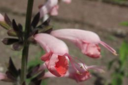 Image of Red sage