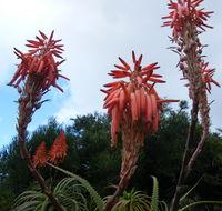 Image of <i>Aloe pluridens</i> Haw.