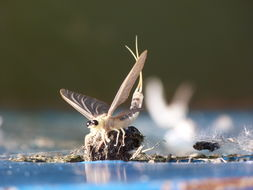 Image of Tisza mayfly