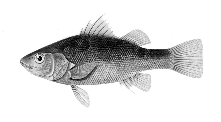 Image of <i>Percichthys melanops</i> Girard 1855