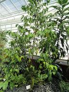 Image of Wright's Gardenia