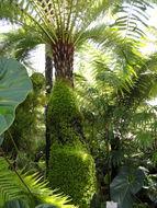 Image of <i>Dicksonia sellowiana</i> (Presl) Hook.