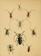 Image of <i>Doliops geometrica</i> Waterhouse 1842