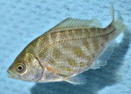 Image of Tule Perch