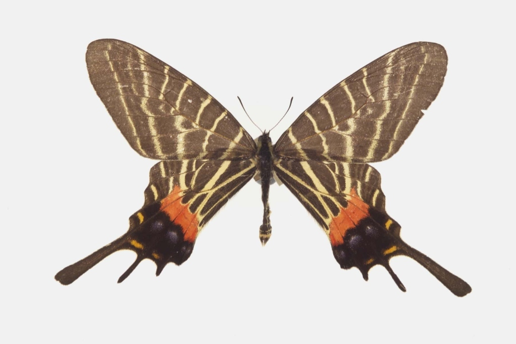 Image of Chinese Three-tailed Swallowtail