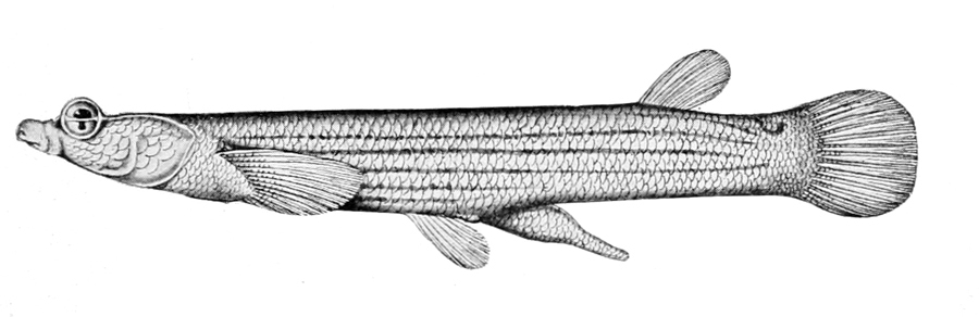 Image of Anableps tetrophthalmus