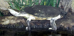 Image of Hilaire's side-necked turtle