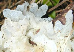 Image of snow fungus