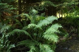 Image of Ostrich fern