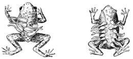 Image of Seychelles Frog