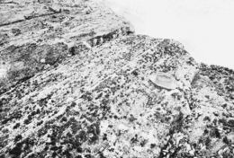 Image of <i>Endocladia muricata</i>
