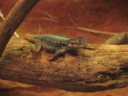 Image of Tawny Crevice-dragon