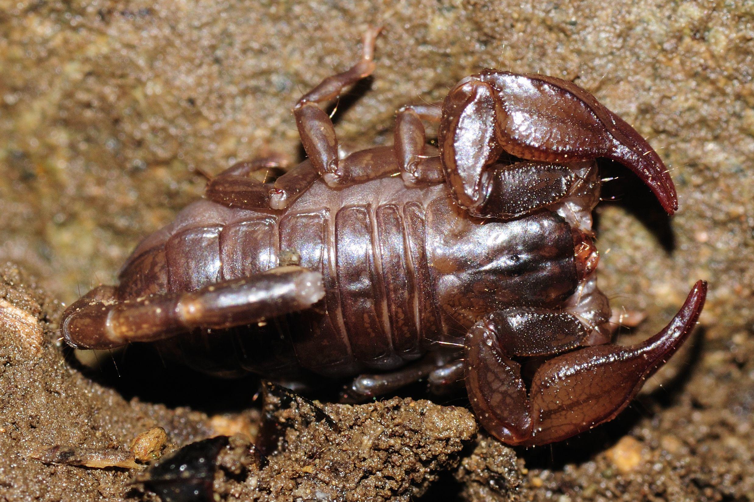 Image of <i>Euscorpius mingrelicus</i> (Kessler 1874)