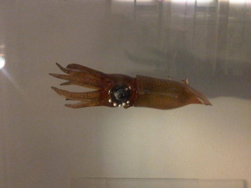 Image of <i>Lycoteuthis lorigera</i> (Steenstrup 1875)