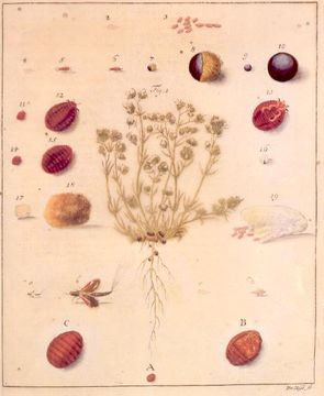 Image of Polish cochineal
