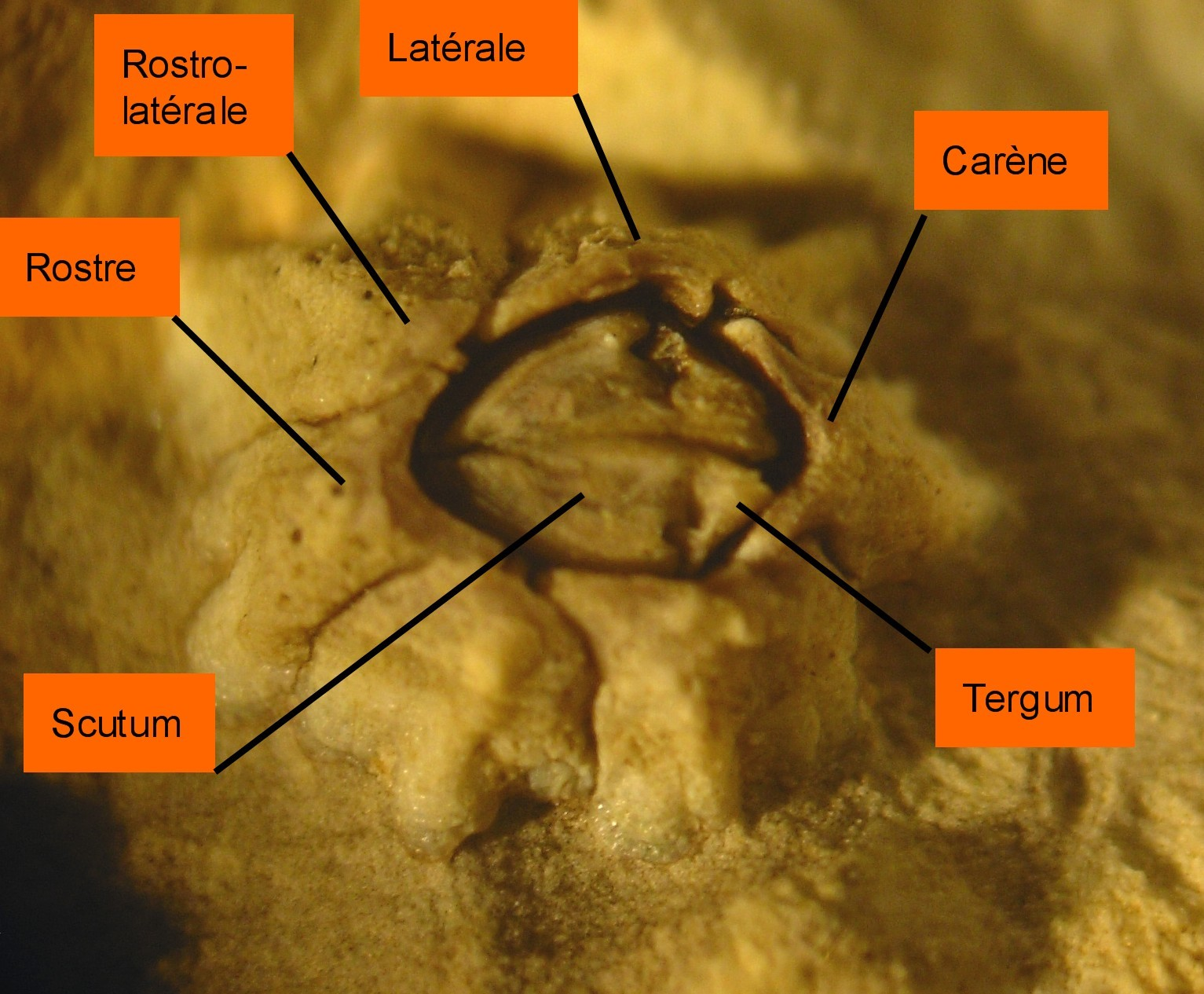 Image of Montagu's stellate barnacle
