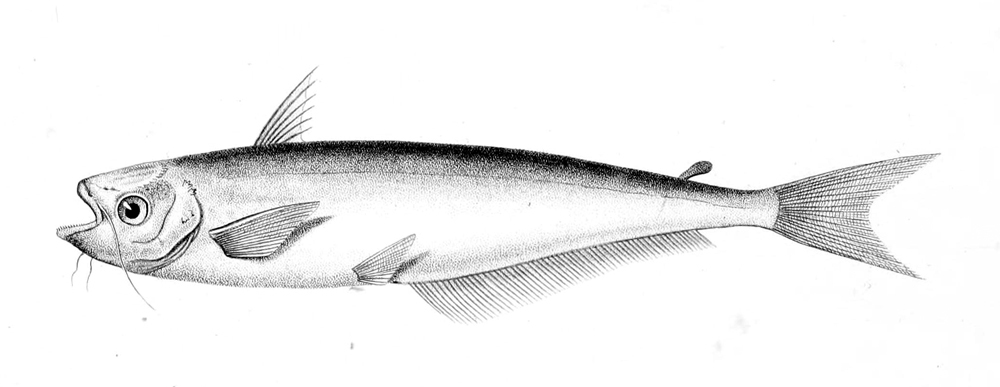 Image of African Butter Catfish
