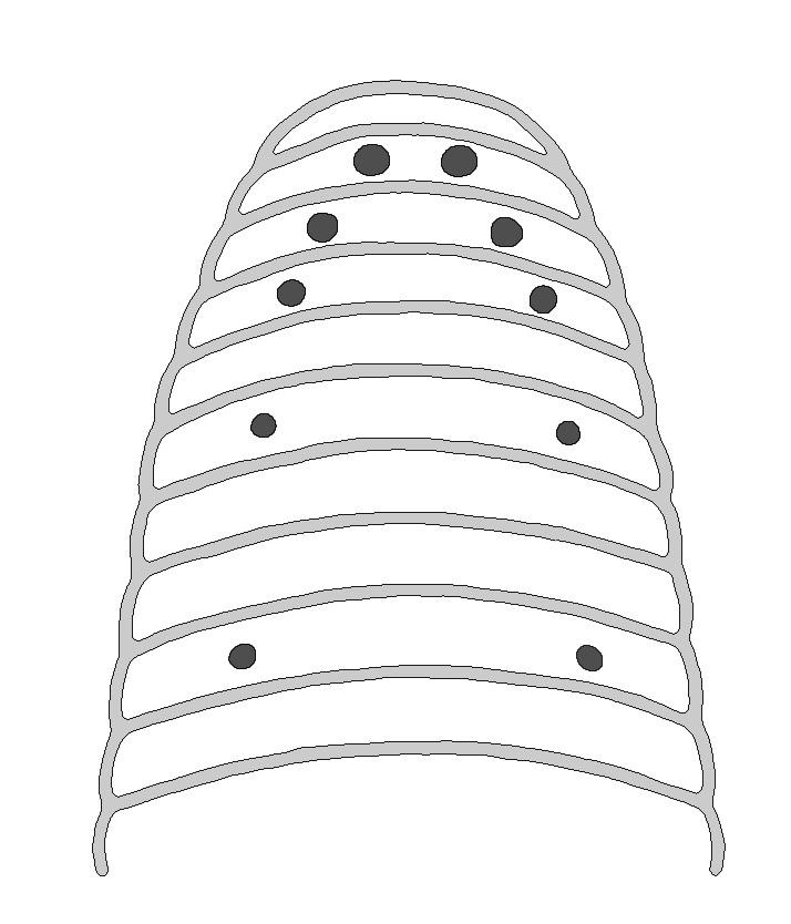 Image of horse leech