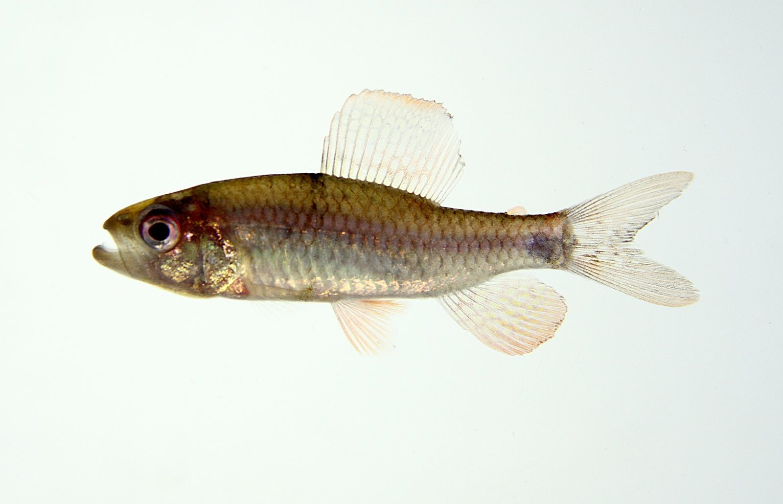Image of Sailfin characin