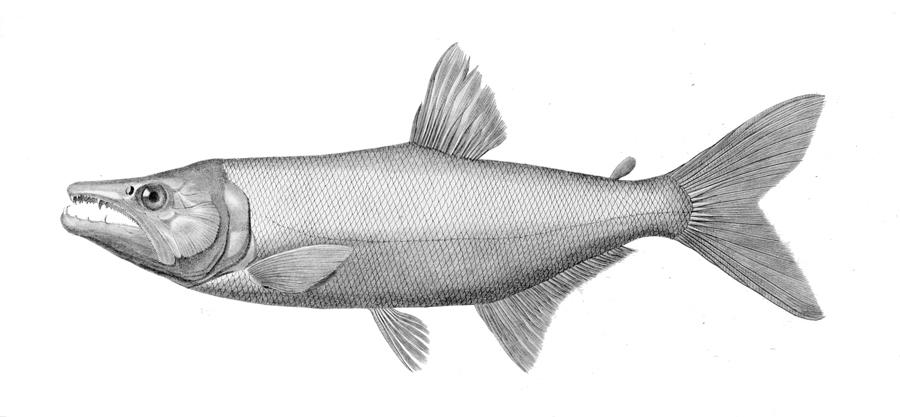 Image of Acestrorhynchus