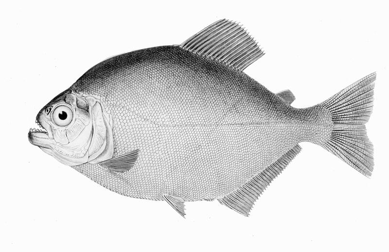 Image of <i>Pygopristis denticulata</i> (Cuvier 1819)
