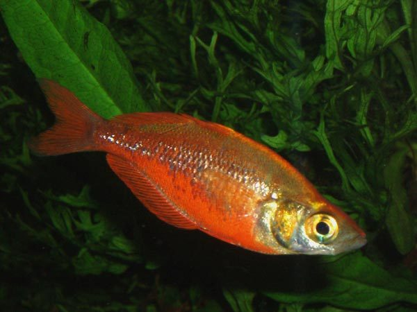 Image of Red Rainbowfish