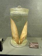 Image of <i>Cranoglanis bouderius</i> (Richardson 1846)