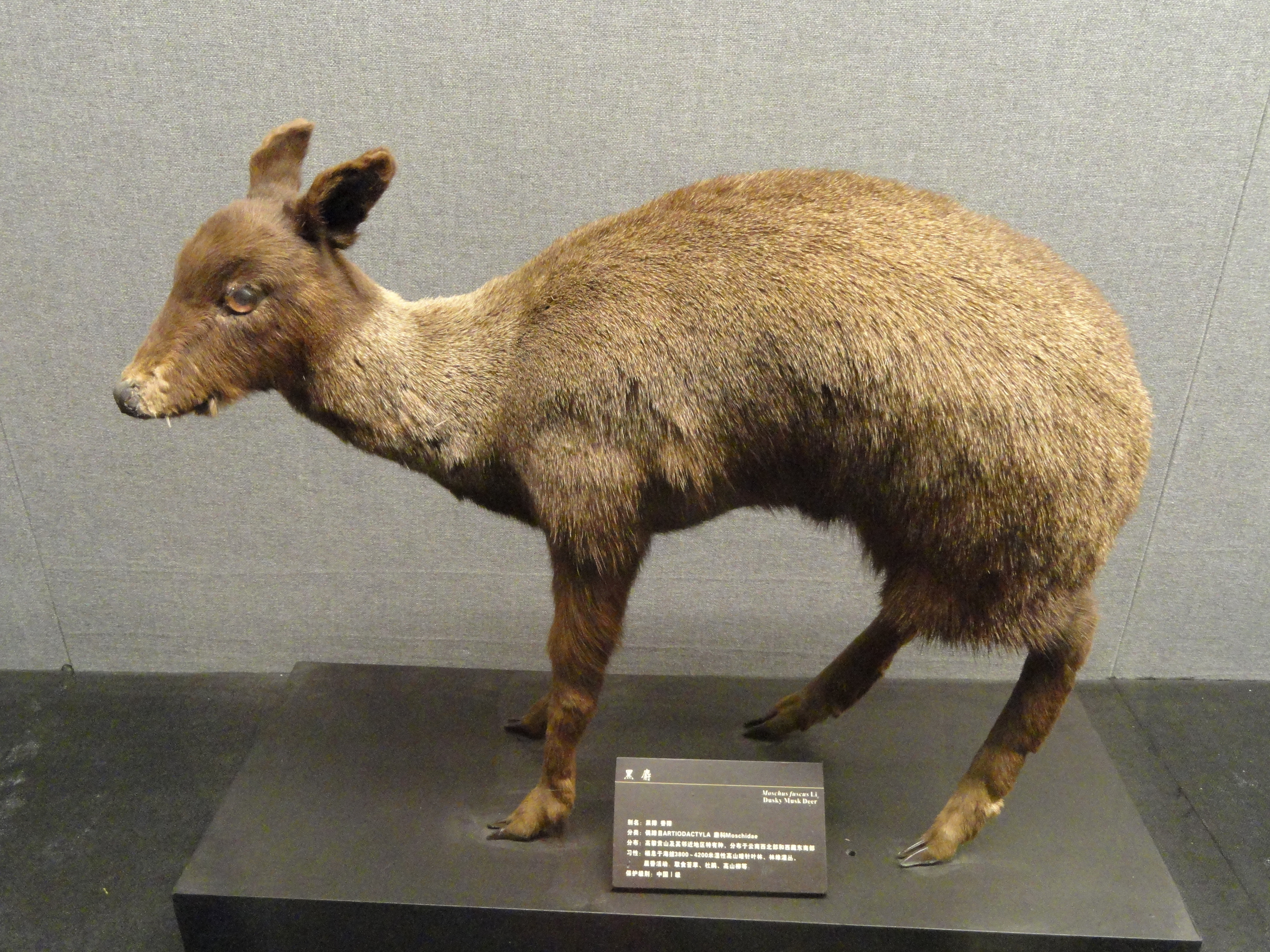Image of Black Musk Deer