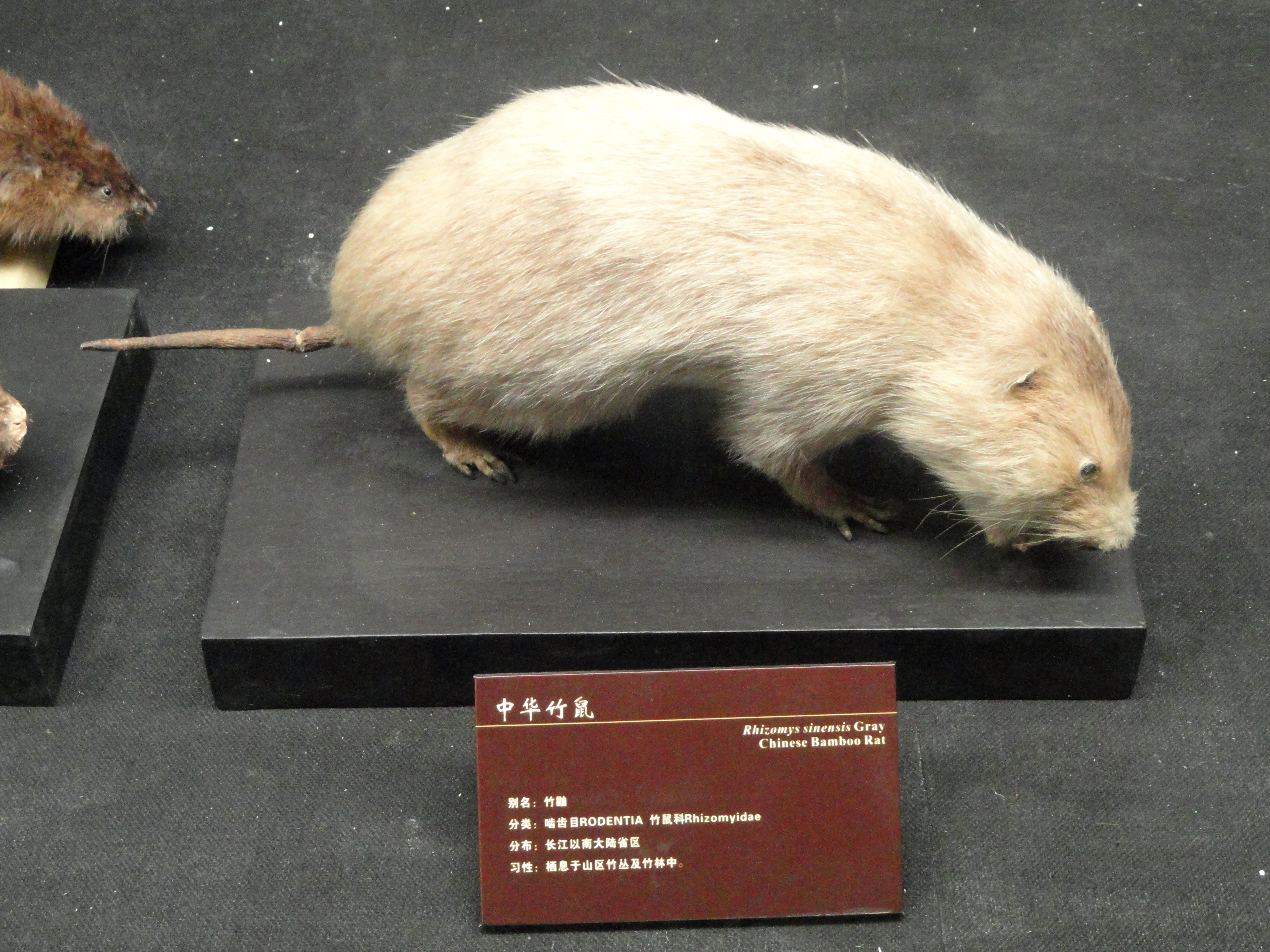 Image of Chinese Bamboo Rat