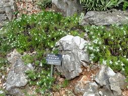 Image of <i>Leontopodium andersonii</i> C. B. Cl.