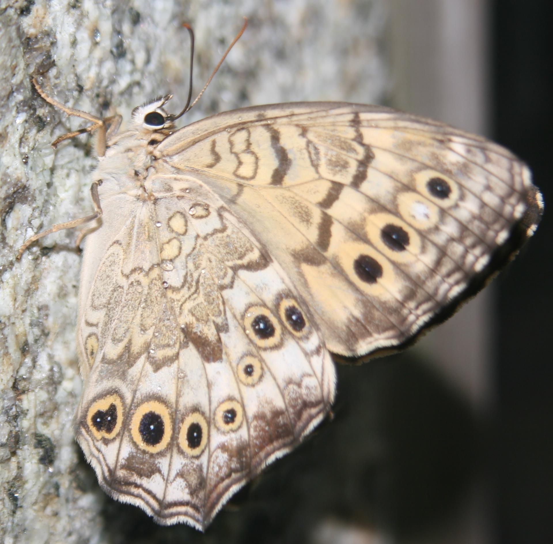 Image of <i>Neope niphonica</i> Butler 1881