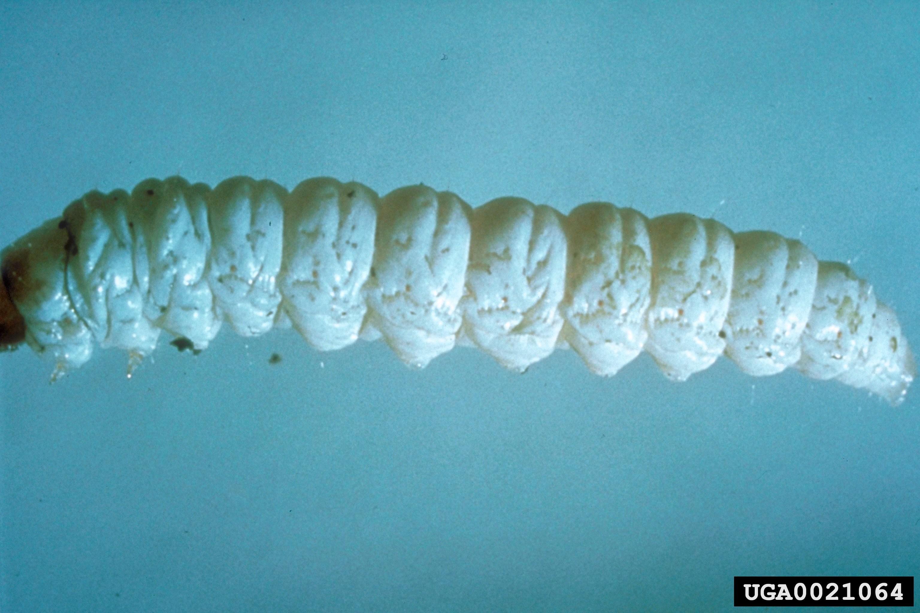 Image of Brown-winged knapweed root moth