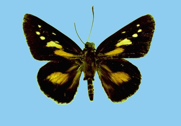 Image of Pyroneura