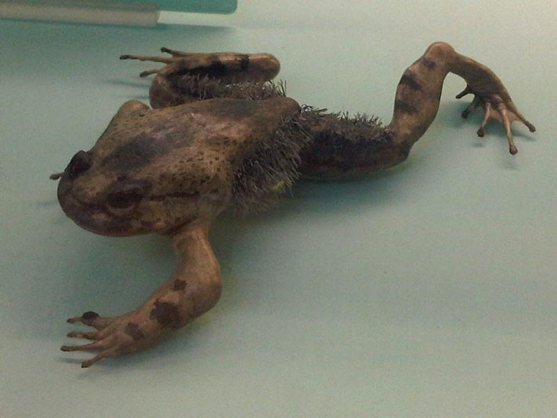 Image of Hairy Frog