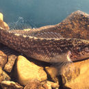 Image of Relict Darter