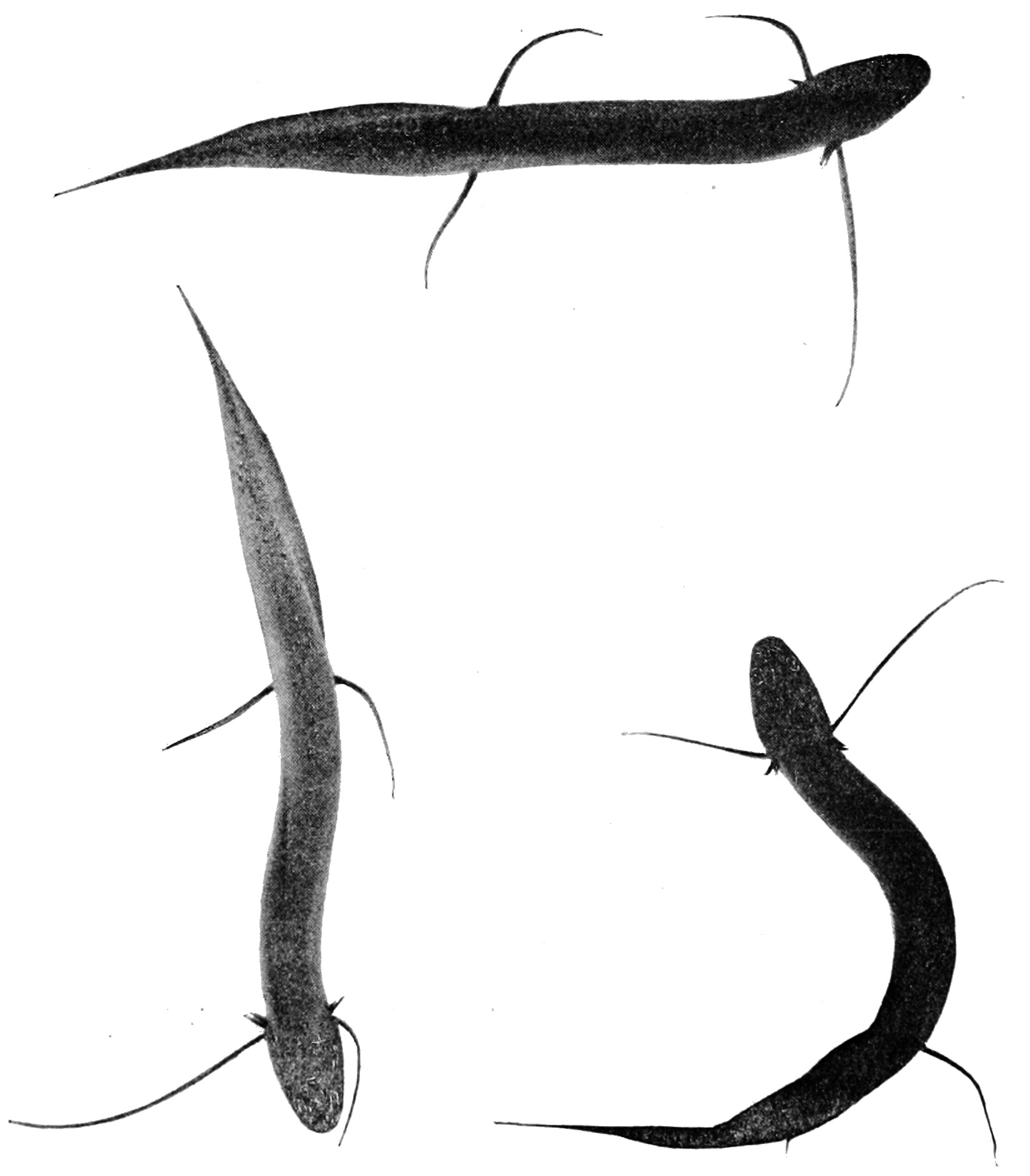 Image of African lungfishes