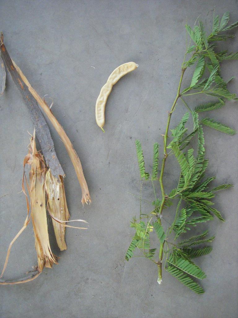 Image of mesquite