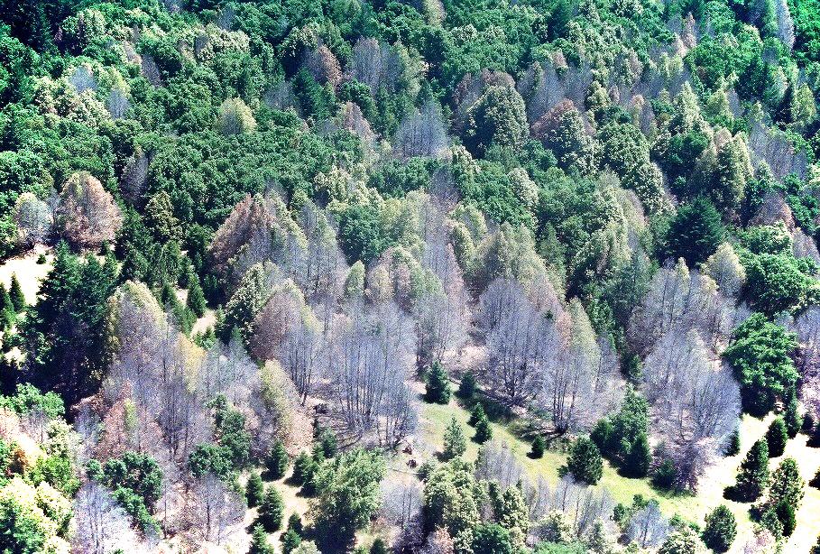 Image of Sudden oak death