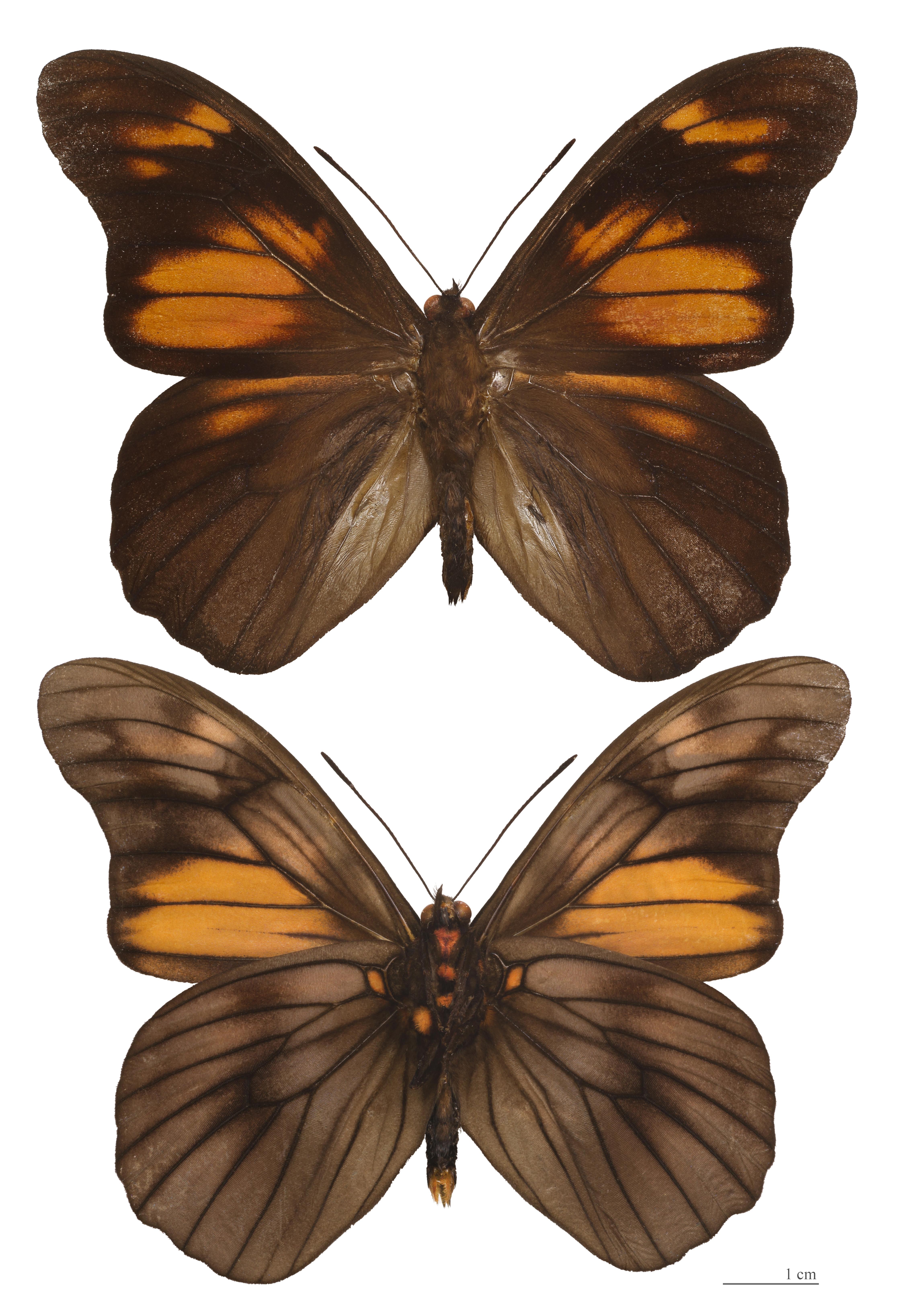 Image of <i>Penetes pamphanis</i> Doubleday (1849)