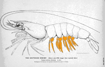 Image of northern white shrimp
